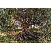 Komar Fototapete Olive Tree 254 x 368 cm