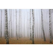 XXLwallpaper Fototapete Birch in Fog SK-Folie 2,00 m x 1,33 m