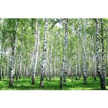 XXLwallpaper Fototapete Birch in Summer SK-Folie 2,00 m x 1,33 m
