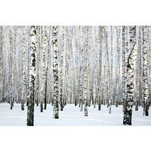 XXLwallpaper Fototapete Birch in Winter SK-Folie 2,00 m x 1,33 m