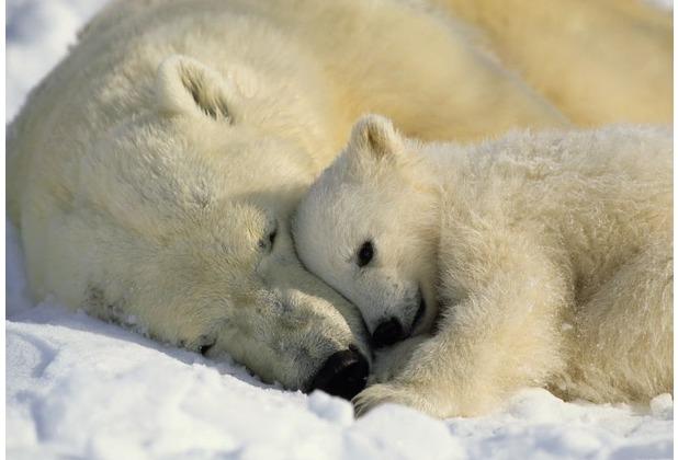 Komar Fototapete Polar Bears NG 184 x 127 cm | Hertie.de