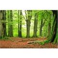 Bilderwelten Vliestapete Premium - Mighty Beech Trees - Fototapete Breit 190x288cm