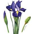 Duni Servietten 3-lagig Motiv Iris 33 x 33 cm 20 Stück