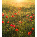 "Komar Vlies Fototapete ""Poppy World"" 250 x 280 cm"