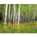 papermoon Fototapete Aspen Grove and Orange Wildflowers 7 Ba 350 x 260 cm Vlies