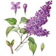 Duni Servietten 3-lagig Motiv Lilac 33 x 33 cm 20 Stück