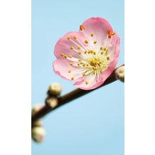 Komar Vlies Fototapete munich design book - Peach Blossom 150 x 250 cm
