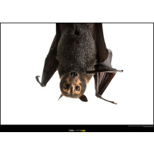 Komar National Geographic Wandbild Spectacled Flying Fox 40 x 30 cm