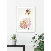 Komar Wandbild Dahlia 30 x 40 cm