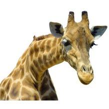 Apalis Fenstersticker No.21 Neugierige Giraffe 80x67 cm Tier 80x67cm