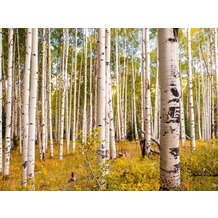 papermoon Fototapete Birches in Colorado Rocky Mountains 7 B 350 x 260 cm Vlies