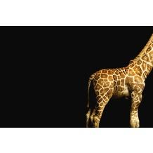 XXLwallpaper Fototapete Giraffe 150 g Vlies Basic 2,00 m x 1,33 m