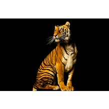 XXLwallpaper Fototapete Tiger 150 g Vlies Basic 2,00 m x 1,33 m