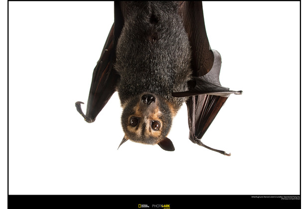 Komar National Geographic Wandbild Spectacled Flying Fox 40 x 30 cm