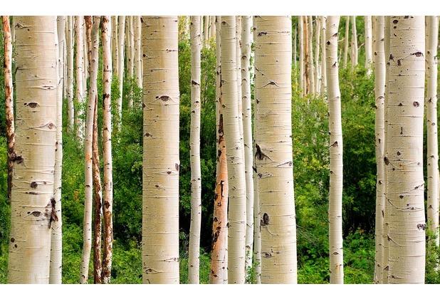 papermoon Fototapete Aspen Woods in Summer 7 Bahnen 350 x 260 cm Vlies