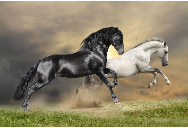 papermoon Fototapete Black and White Horses 7 Bahnen 350 x 260 cm Vlies