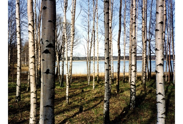 papermoon Fototapete Finnish Forest of Birch Trees 7 Bahnen 350 x 260 cm Vlies