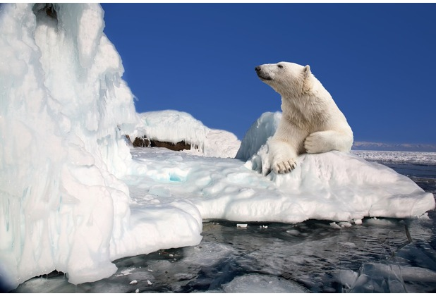papermoon Fototapete Polar Bear 7 Bahnen 350 x 260 cm Vlies