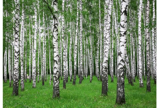 papermoon Fototapete Summer Birch Forest 7 Bahnen 350 x 260 cm Vlies