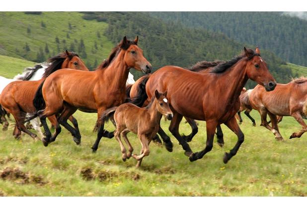 papermoon Fototapete Wild Horses 7 Bahnen 350 x 260 cm Vlies
