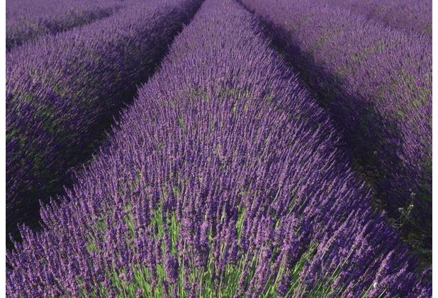 Rasch Fototapete Lavendel