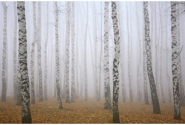 XXLwallpaper Fototapete Birch in Fog 150 g Vlies Basic 2,00 m x 1,33 m