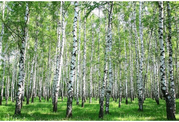 XXLwallpaper Fototapete Birch in Summer 150 g Vlies Basic 2,00 m x 1,33 m