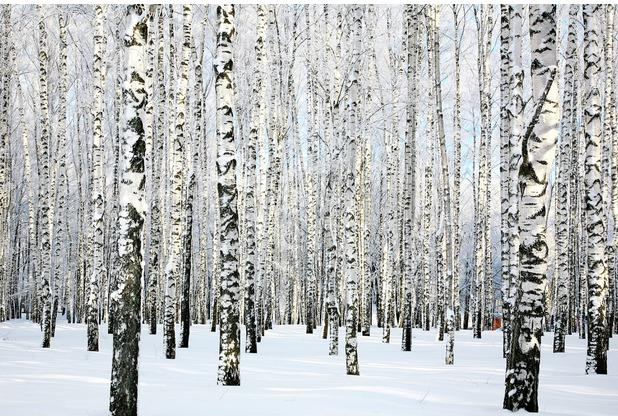 XXLwallpaper Fototapete Birch in Winter 150 g Vlies Basic 2,00 m x 1,33 m
