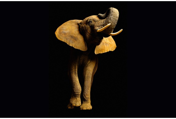 XXLwallpaper Fototapete Elephant Front 150 g Vlies Basic 2,00 m x 1,33 m