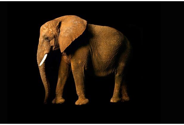 XXLwallpaper Fototapete Elephant Side 150 g Vlies Basic 2,00 m x 1,33 m