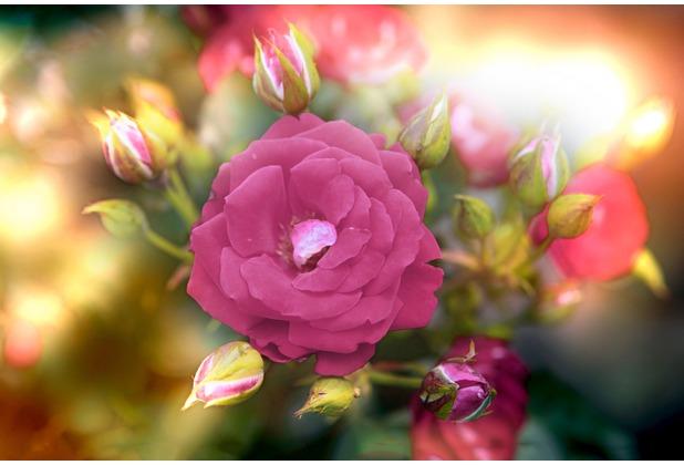 XXLwallpaper Fototapete Flower Detail Rose 476-631-M 150 g Vlies Basic 2,00 m x 1,33 m