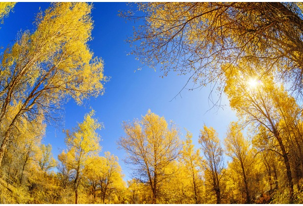 XXLwallpaper Fototapete Golden Trees 150 g Vlies Basic 2,00 m x 1,33 m
