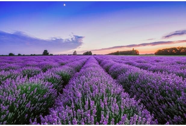 XXLwallpaper Fototapete Lavender 150 g Vlies Basic 2,00 m x 1,33 m