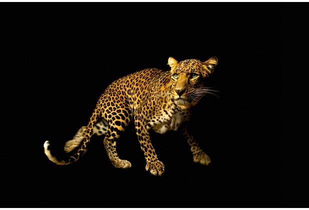 XXLwallpaper Fototapete Leopard 150 g Vlies Basic 2,00 m x 1,33 m