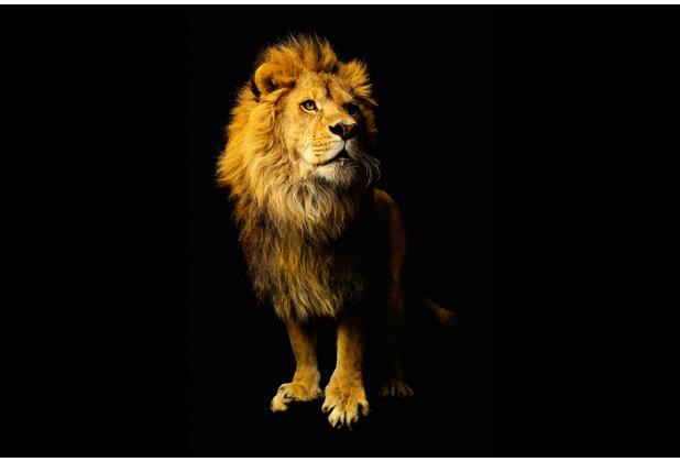 XXLwallpaper Fototapete Lion 150 g Vlies Basic 2,00 m x 1,33 m