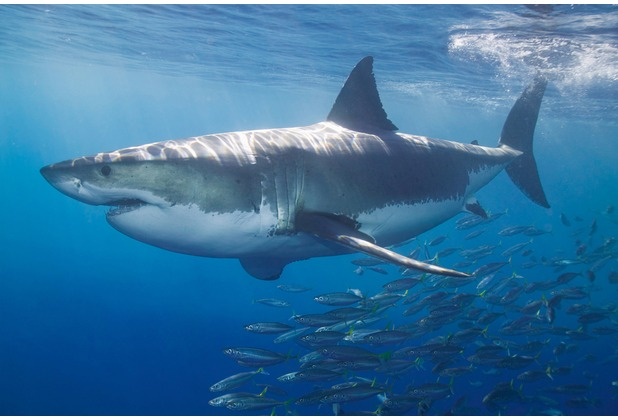 XXLwallpaper Fototapete White Shark 150 g Vlies Basic 2,00 m x 1,33 m