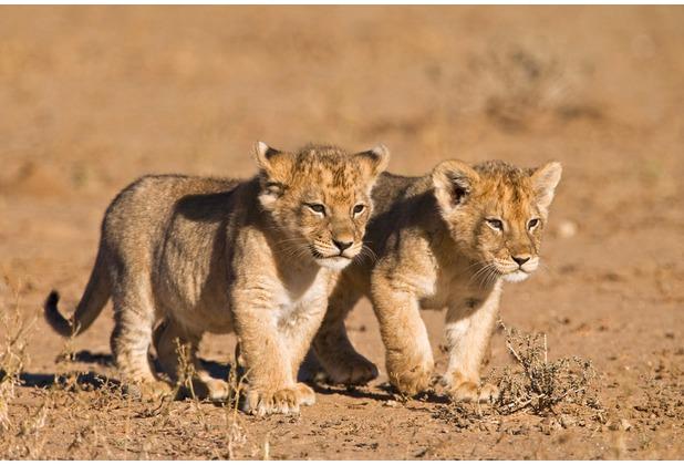 XXLwallpaper Fototapete Young Lions 150 g Vlies Basic 2,00 m x 1,33 m